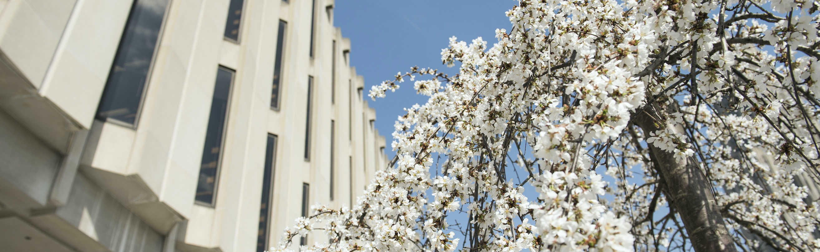 Hillman Library and blooming tree